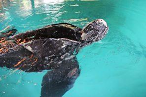 Campanha para acompanhar tartaruga resgatada foi criada na Ericeira